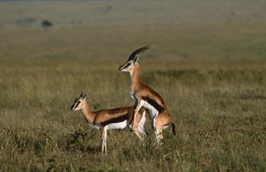 Thomson's gazelle mating gazelles,gazelle,prey,herbivore,herbivores,vertebrate,mammal,mammals,terrestrial,Africa,African,savanna,savannah,safari,antelope,antelopes,horns,horned,sex,courting,mating,mate,sexual,mount,love,lover