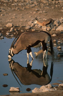 Gemsbok drinking at waterhole gazelles,gazelle,prey,herbivore,herbivores,vertebrate,mammal,mammals,terrestrial,Africa,African,savanna,savannah,safari,antelope,antelopes,horns,horned,drink,drinking,water hole,watering hole,reflecti