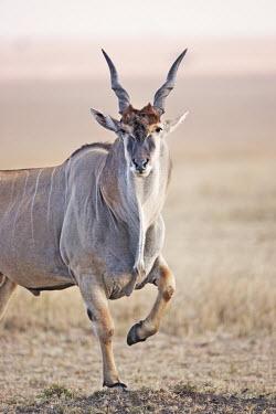 Eland, largest of the African antelope. oryx,Tragelaphus oryx pattersonianu,East African eland,herbivore,herbivores,vertebrate,mammal,mammals,terrestrial,Africa,African,savanna,savannah,safari,antelope,antelopes,prey,Eland,Tragelaphus oryx,