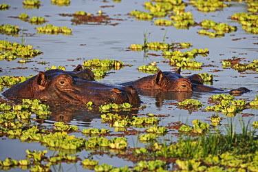 Hippopotamus in amongst water lettuce. bath time,lake,waterhole,pondweed,vegetation,flora,water lettuce,Pistia stratiotes,pair,sleep,sleeping,dozing,relax,relaxed,calm,snout,hippo,hippos,vertebrate,mammal,mammals,terrestrial,amphibious,aqu