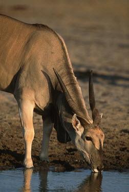 Eland drinking at water hole oryx,herbivore,herbivores,vertebrate,mammal,mammals,terrestrial,Africa,African,savanna,savannah,safari,antelope,antelopes,prey,watering hole,water hole,drink,drinking,reflection,water,horn,horns,horne