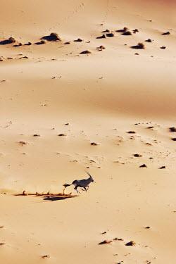 Gemsbok galloping through the desert gazelles,gazelle,prey,herbivore,herbivores,vertebrate,mammal,mammals,terrestrial,Africa,African,savanna,savannah,safari,antelope,antelopes,horns,horned,desert,sand,dune,dunes,run,running,jump,jumping,