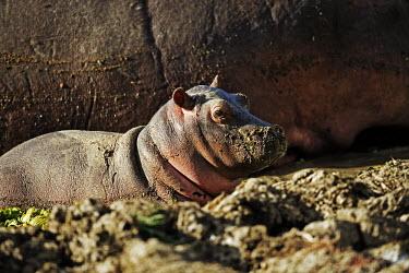 Hippopotamus with baby in the Luangwa river. calf,baby,young,juvenile,lake,waterhole,mud,muddy,face,cute,hippo,hippos,vertebrate,mammal,mammals,terrestrial,amphibious,aquatic,aquatic mammal,herbivore,herbivores,omnivore,omnivores,Africa,African,