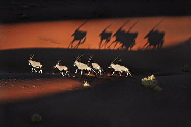 Gemsbok silhouette crossing sand dune gazelles,gazelle,prey,herbivore,herbivores,vertebrate,mammal,mammals,terrestrial,Africa,African,savanna,savannah,safari,antelope,antelopes,horns,horned,desert,sand,dune,dunes,run,running,negative spac