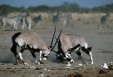 Gemsbok males fighting. gazelles,gazelle,prey,herbivore,herbivores,vertebrate,mammal,mammals,terrestrial,Africa,African,savanna,savannah,safari,antelope,antelopes,horns,horned,head butt,head butting,locked,battle,fight,fight