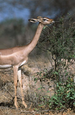 Gerenuk, adapted to browsing high bushes Waller�s gazelle,gazelles,gazelle,prey,herbivore,herbivores,vertebrate,mammal,mammals,terrestrial,Africa,African,savanna,savannah,safari,antelope,antelopes,grazing,graze,eating,feeding,bush,shrub,long