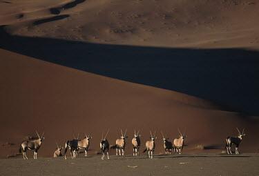 Gemsbok in typical desert habitat gazelles,gazelle,prey,herbivore,herbivores,vertebrate,mammal,mammals,terrestrial,Africa,African,savanna,savannah,safari,antelope,antelopes,horns,horned,desert,sand,dune,dunes,herd,landscape,brown,nega