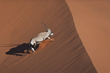 Gemsbok in crossing sand dune gazelles,gazelle,prey,herbivore,herbivores,vertebrate,mammal,mammals,terrestrial,Africa,African,savanna,savannah,safari,antelope,antelopes,horns,horned,desert,sand,dune,dunes,run,running,negative spac