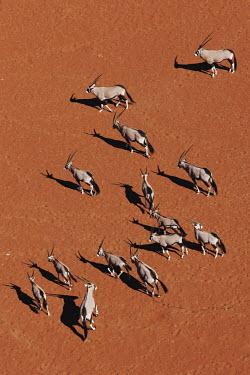 Gemsbok herd roam across desert gazelles,gazelle,prey,herbivore,herbivores,vertebrate,mammal,mammals,terrestrial,Africa,African,savanna,savannah,safari,antelope,antelopes,horns,horned,desert,sand,dune,dunes,run,running,negative spac