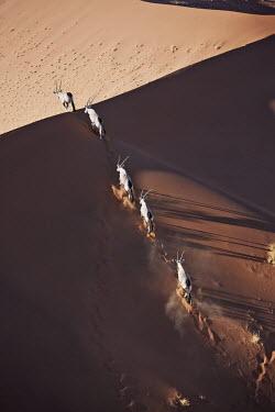 Herd of gemsbok in crossing sand dune gazelles,gazelle,prey,herbivore,herbivores,vertebrate,mammal,mammals,terrestrial,Africa,African,savanna,savannah,safari,antelope,antelopes,horns,horned,desert,sand,dune,dunes,run,running,negative spac