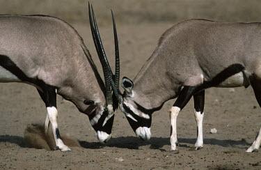 Gemsbok locking horns gazelles,gazelle,prey,herbivore,herbivores,vertebrate,mammal,mammals,terrestrial,Africa,African,savanna,savannah,safari,antelope,antelopes,horns,horned,head butt,head butting,locked,battle,fight,fight