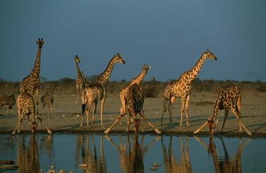 Southern giraffe at waterhole Giraffa giraffa,Southern giraffe,giraffe,giraffes,herbivore,herbivores,vertebrate,mammal,mammals,terrestrial,Africa,African,savanna,savannah,safari,pattern,patterns,drinking,drink,group,herd,waterhole