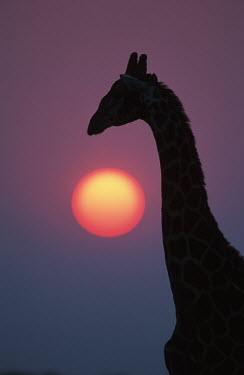 Southern giraffe silhouette against sunrise Giraffa giraffa,Southern giraffe,giraffe,giraffes,herbivore,herbivores,vertebrate,mammal,mammals,terrestrial,Africa,African,savanna,savannah,safari,pattern,patterns,sunrise,sunset,dawn,dusk,purple,pin