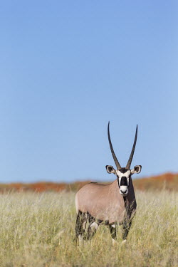 Gemsbok in grassland gazelles,gazelle,prey,herbivore,herbivores,vertebrate,mammal,mammals,terrestrial,Africa,African,savanna,savannah,safari,antelope,antelopes,horns,horned,blue sky,negative space,face,mask,masked,grass,g
