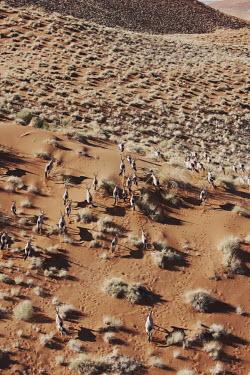 Gemsbok herd roam across desert gazelles,gazelle,prey,herbivore,herbivores,vertebrate,mammal,mammals,terrestrial,Africa,African,savanna,savannah,safari,antelope,antelopes,horns,horned,desert,sand,dune,dunes,run,running,sandy,dry,ari