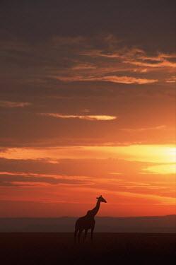 Southern giraffe in silhouette against sunset Giraffa giraffa,Southern giraffe,giraffe,giraffes,herbivore,herbivores,vertebrate,mammal,mammals,terrestrial,Africa,African,savanna,savannah,safari,pattern,patterns,sunrise,sunset,dawn,dusk,orange,fad