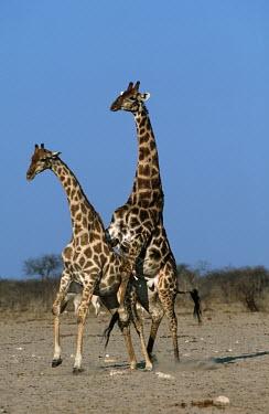 Southern giraffe mating Giraffa giraffa,Southern giraffe,giraffe,giraffes,herbivore,herbivores,vertebrate,mammal,mammals,terrestrial,Africa,African,savanna,savannah,safari,pattern,patterns,sex,courting,mating,mate,sexual,mou