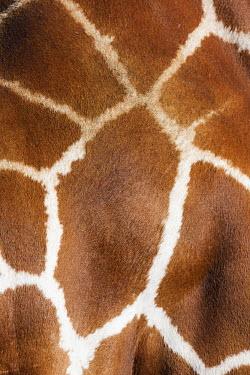 Pattern variation of the reticulated giraffe Giraffa camelopardalis reticulata,giraffe,reticulated giraffe,pattern,herbivore,herbivores,vertebrate,mammal,mammals,terrestrial,Africa,African,savanna,savannah,safari,patterns,skin,fur,mosaic,fashion