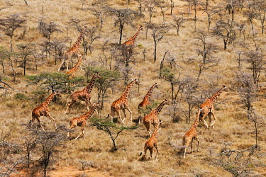 Aerial view of reticulated giraffe in Kenya Giraffa camelopardalis reticulata,giraffe,reticulated giraffe,pattern,herbivore,herbivores,vertebrate,mammal,mammals,terrestrial,Africa,African,savanna,savannah,safari,patterns,herd,group,run,running,