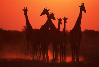 Southern giraffe in silhouette against sunset Giraffa giraffa,Southern giraffe,giraffe,giraffes,herbivore,herbivores,vertebrate,mammal,mammals,terrestrial,Africa,African,savanna,savannah,safari,pattern,patterns,sunrise,sunset,dawn,dusk,orange,red