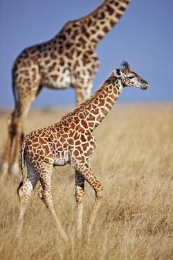 Young Maasai giraffe on Mara plains Giraffa camelopardalis tippelskirchi,Maasai giraffe,herbivore,herbivores,vertebrate,mammal,mammals,terrestrial,Africa,African,savanna,savannah,safari,pattern,patterns,calf,young,juvenile,baby,shallow