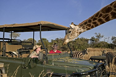 Southern giraffe with tourists on game drive. Giraffa giraffa,Southern giraffe,giraffe,giraffes,herbivore,herbivores,vertebrate,mammal,mammals,terrestrial,Africa,African,savanna,savannah,safari,pattern,patterns,curious,tourism,eco-tourism,eco tou