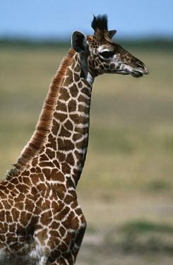 Young Maasai giraffe Giraffa camelopardalis tippelskirchi,giraffe,giraffes,Maasai giraffe,herbivore,herbivores,vertebrate,mammal,mammals,terrestrial,Africa,African,savanna,savannah,safari,pattern,patterns,juvenile,calf,yo