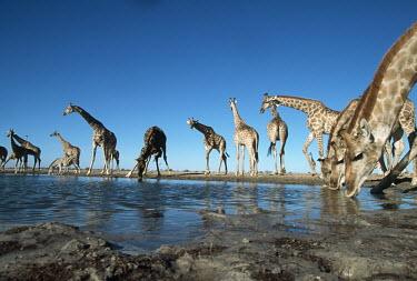 Southern giraffe drinking at waterhole Giraffa giraffa,Southern giraffe,giraffe,giraffes,herbivore,herbivores,vertebrate,mammal,mammals,terrestrial,Africa,African,savanna,savannah,safari,pattern,patterns,drinking,drink,group,herd,waterhole