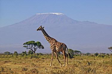 Southern giraffe with Kilimanjaro mountain in background Giraffa giraffa,Southern giraffe,herbivore,herbivores,vertebrate,mammal,mammals,terrestrial,Africa,African,savanna,savannah,safari,pattern,patterns,Kilimanjaro,mountain,background,horizon,negative spa