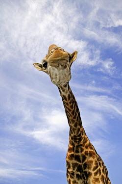Southern giraffe face lurching toward camera Giraffa giraffa,Southern giraffe,giraffe,giraffes,herbivore,herbivores,vertebrate,mammal,mammals,terrestrial,Africa,African,savanna,savannah,safari,pattern,patterns,sky,clouds,blue sky,necks,height,cr