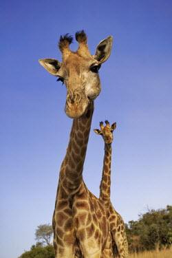 Two southern giraffe looking perplexed Giraffa giraffa,Southern giraffe,giraffe,giraffes,herbivore,herbivores,vertebrate,mammal,mammals,terrestrial,Africa,African,savanna,savannah,safari,pattern,patterns,sky,clouds,blue sky,necks,pair,heig