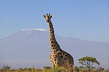 Southern giraffe with Kilimanjaro mountain in background Giraffa giraffa,Southern giraffe,herbivore,herbivores,vertebrate,mammal,mammals,terrestrial,Africa,African,savanna,savannah,safari,pattern,patterns,Kilimanjaro,mountain,background,horizon,negative spa
