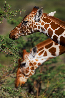 Two reticulated giraffe graze the high up vegetation Giraffa camelopardalis reticulata,giraffe,reticulated giraffe,pattern,herbivore,herbivores,vertebrate,mammal,mammals,terrestrial,Africa,African,savanna,savannah,safari,patterns,feeding,eating,vegetati