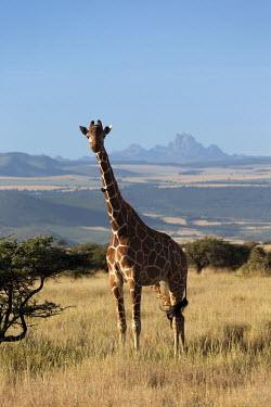 Reticulated giraffe characterized by two knob called ossicone on their head. Giraffa camelopardalis reticulata,giraffe,reticulated giraffe,pattern,herbivore,herbivores,vertebrate,mammal,mammals,terrestrial,Africa,African,savanna,savannah,safari,patterns,blue sky,oxpecker,Bupha
