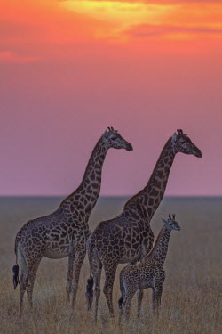 Maasai giraffe on Mara plains at sunset Giraffa camelopardalis tippelskirchi,Maasai giraffe,herbivore,herbivores,vertebrate,mammal,mammals,terrestrial,Africa,African,savanna,savannah,safari,pattern,patterns,family,herd,parents,calf,sunset,d