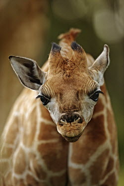 Nine day old Rothschild giraffe calf Giraffa camelopardalis rothschildi,Rothschild giraffe,herbivore,herbivores,vertebrate,mammal,mammals,terrestrial,Africa,African,savanna,savannah,safari,pattern,patterns,face,calf,close-up,inquisitive,