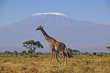 Southern giraffe with Kilimanjaro mountain in background (snow enhanced) Giraffa giraffa,Southern giraffe,herbivore,herbivores,vertebrate,mammal,mammals,terrestrial,Africa,African,savanna,savannah,safari,pattern,patterns,Kilimanjaro,mountain,background,horizon,negative spa