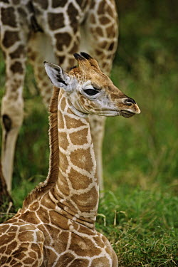 Rothschild giraffe calf sitting in the grass Giraffa camelopardalis rothschildi,Rothschild giraffe,herbivore,herbivores,vertebrate,mammal,mammals,terrestrial,Africa,African,savanna,savannah,safari,pattern,patterns,vulnerable young,calf,juvenile,