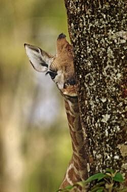 Nine day old Rothschild giraffe calf hiding behind a tree Giraffa camelopardalis rothschildi,Rothschild giraffe,herbivore,herbivores,vertebrate,mammal,mammals,terrestrial,Africa,African,savanna,savannah,safari,pattern,patterns,juvenile,young,calf,hiding,peek