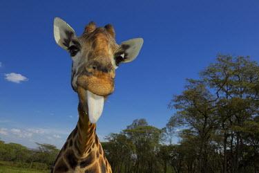 Rothschild giraffe appears to smile tongue out Giraffa camelopardalis rothschildi,Rothschild giraffe,herbivore,herbivores,vertebrate,mammal,mammals,terrestrial,Africa,African,savanna,savannah,safari,pattern,patterns,face,close-up,mouth,portrait,li