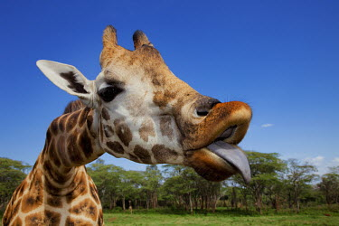Rothschild giraffe with tongue out Giraffa camelopardalis rothschildi,Rothschild giraffe,herbivore,herbivores,vertebrate,mammal,mammals,terrestrial,Africa,African,savanna,savannah,safari,pattern,patterns,face,close-up,mouth,portrait,li
