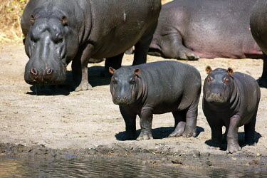 Two baby hippos and adults at the edge of a water hole. calf,calves,baby,babies,young,juvenile,juveniles,water hole,watering hole,hippo,hippos,vertebrate,mammal,mammals,terrestrial,amphibious,aquatic,aquatic mammal,herbivore,herbivores,omnivore,omnivores,A