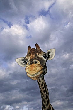 Portrait of adult Rothschild giraffe with stormy sky in background Giraffa camelopardalis rothschildi,Rothschild giraffe,herbivore,herbivores,vertebrate,mammal,mammals,terrestrial,Africa,African,savanna,savannah,safari,pattern,patterns,face,close-up,mouth,portrait,li