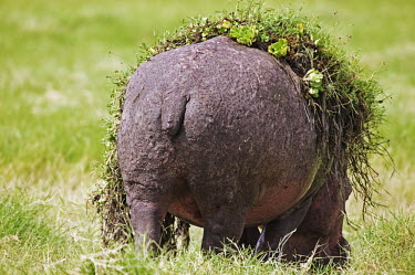 Hippopotamus with water weed on it's back. bath time,garden,gardener,dirty,spring clean,clean,funny,comedy,grazing,graze,eating,feeding,green,vegetation,grass,back,body,bum,tail,bloated,lazy,hippo,hippos,vertebrate,mammal,mammals,terrestrial,a