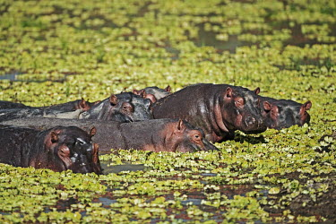 Hippopotamus in amongst water lettuce. bath time,lake,waterhole,river,pondweed,vegetation,flora,water lettuce,Pistia stratiotes,food,herd,gathering,social,bloat,pod,raft,negative space,chill,chill out,bath,hippo,hippos,vertebrate,mammal,ma