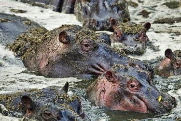 A bloat of hippopotamus in a lake bath time,lake,waterhole,river,herd,gathering,social,bloat,pod,raft,grey,eye,eyes,hippo,hippos,vertebrate,mammal,mammals,terrestrial,amphibious,aquatic,aquatic mammal,herbivore,herbivores,omnivore,omn