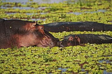 Hippopotamus in amongst water lettuce. mother and calf,calf,baby,young,juvenile,parent,mother,family,lake,waterhole,hippo,hippos,vertebrate,mammal,mammals,terrestrial,amphibious,aquatic,aquatic mammal,herbivore,herbivores,omnivore,omnivore