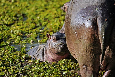 Hippopotamus with baby in amongst water lettuce (Pistia stratiotes). mother and calf,calf,baby,young,juvenile,lake,waterhole,hippo,hippos,vertebrate,mammal,mammals,terrestrial,amphibious,aquatic,aquatic mammal,herbivore,herbivores,omnivore,omnivores,Africa,African,Hipp