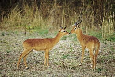 Two puku in its grassland habitat, often near swamp or water. antelope,antelopes,herbivores,herbivore,vertebrate,mammal,mammals,terrestrial,ungulate,horns,horn,Africa,African,male and female,kiss,kissing,couple,cute,hello,greeting,grassland,Puku,Kobus vardonii,H