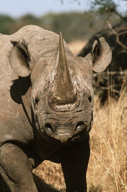Black rhinoceros running toward camera charge,charging,run,running,warning,rhinos,rhino,horn,horns,herbivores,herbivore,vertebrate,mammal,mammals,terrestrial,Africa,African,savanna,savannah,safari,Black rhinoceros,Diceros bicornis,Herbivor